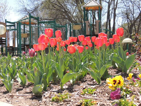 Tulips at a Park